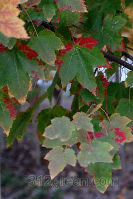 """枫树""""十月红""""红绿相间"""